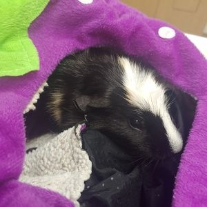 SURGERY-Help pay for my guinea pigs surgery